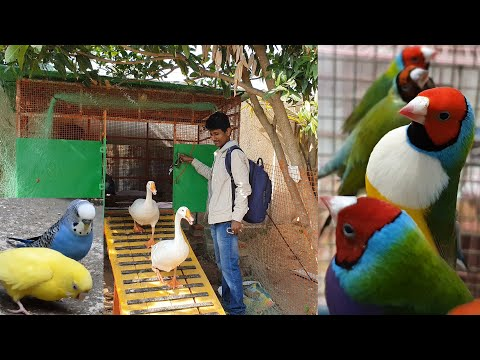 Finches & Java's New Setup Starts With Few Gouldian Finch /  Colorful Small Bird Breeding Farm.