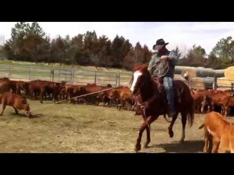 VanderMay Livestock - PC Speedy Native aka Cash dragging calves at a branding with Luke VanderMay