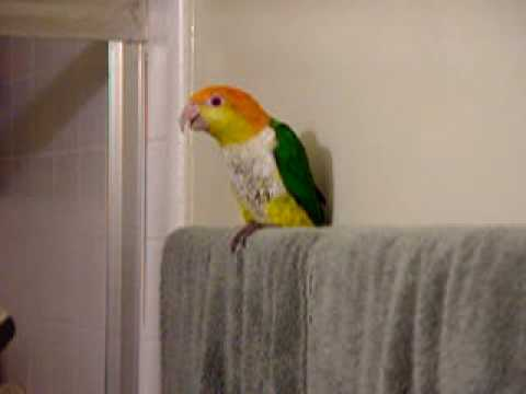 Pooter my White Bellied Caique Whistles, Sings and waves bye-bye