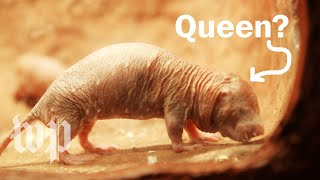 How do naked mole-rats choose their queen?
