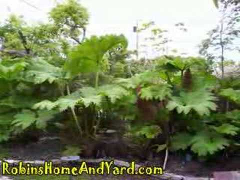 Gunnera The Growth Of A Giant YouTube