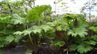 Gunnera - The Growth Of A Giant