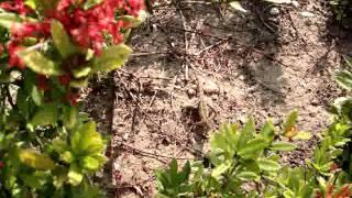 Ящерица Василиск бегающая на двух ногах