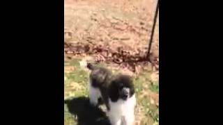 Standard Parti Poodles For Sale