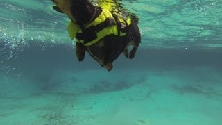 """dachshunds & Manatees"" - Filmed With Gopro, By Crusoe The Celebrity Dachshund"