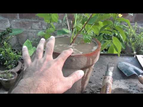 How to Grow Rangoon Creeper Vine | Summer Season Plant | Flowering Vines(urdu/hindi)