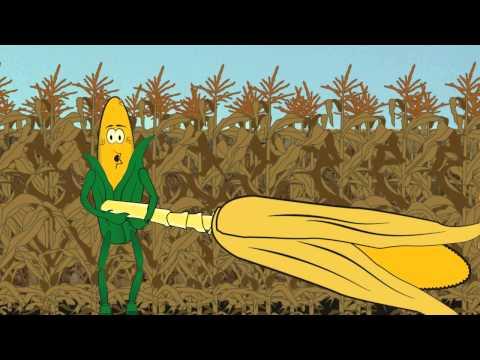 Ear Drop in Corn