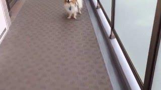愛犬パピヨンと過ごす平凡な日常風景です。 廊下ダッシュ! 目が回る~。