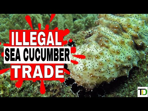 COPS place DENT on Sea Cucumber BLACK MARKET in JAMAICA - Teach Dem