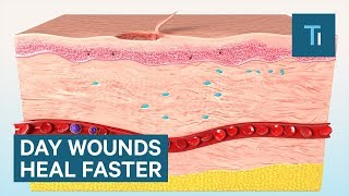Skin Wounds Heal Faster During The Day