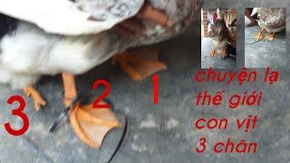 Chuyện lạ thế giới con vịt 3chan . Hiếu Lê TV kênh săn bắt giải trí