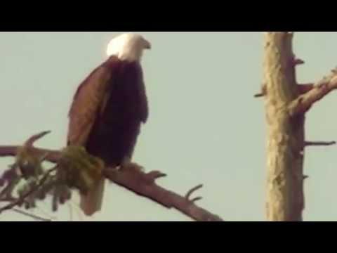El Canto del Aguila Calva