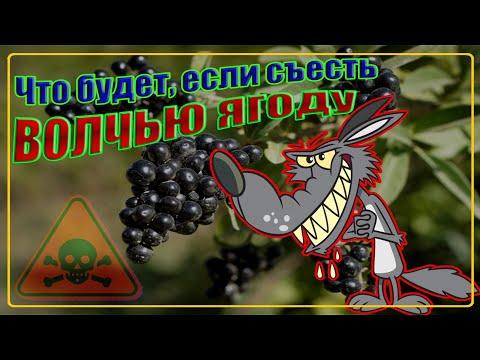 Волчья ягода что будет если съесть (Важно Знать!)