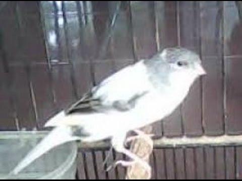 Download Lagu Burung Kenari Putih Abu Jambul - Nyanyian Kicau Suara Gacor