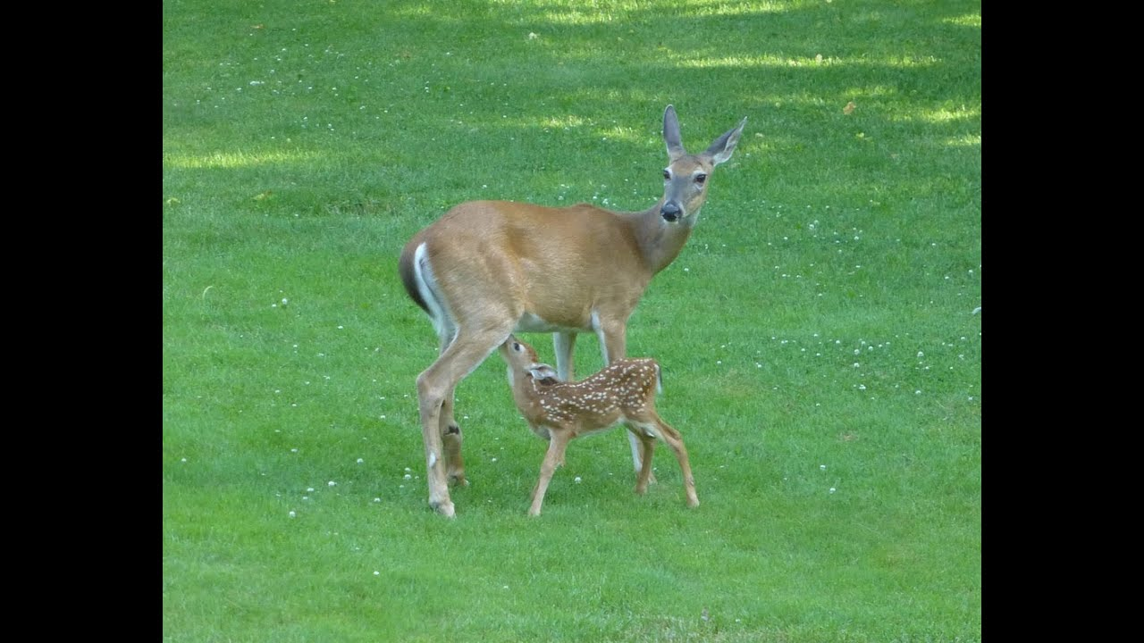 how to raise a baby deer