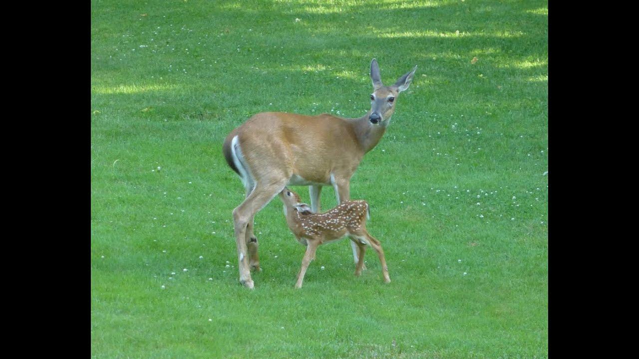 Cute Baby Deer Nursing In My Back Yard Glen Dale Wv Youtube