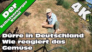Dürre in Deutschland  Wie reagiert das Gemüse