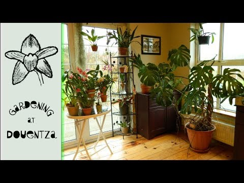 Winter House Plant Display - including Monstera deliciosa & orchids in bloom