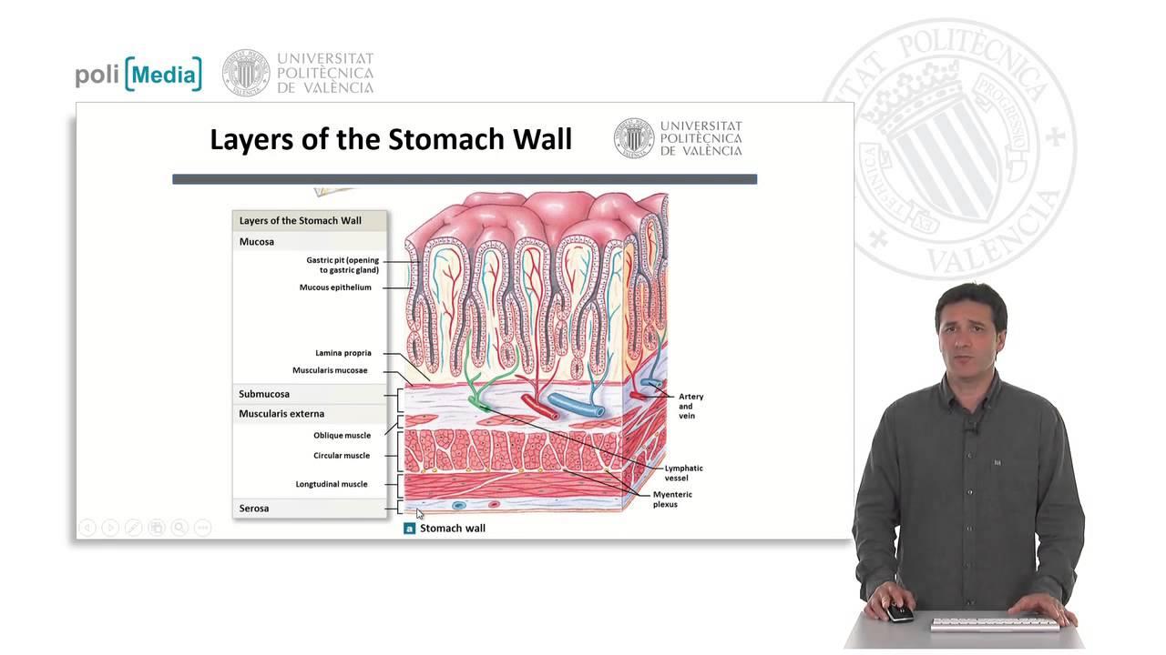 Estómago, anatomía e histología funcional | 3/18 | UPV - YouTube