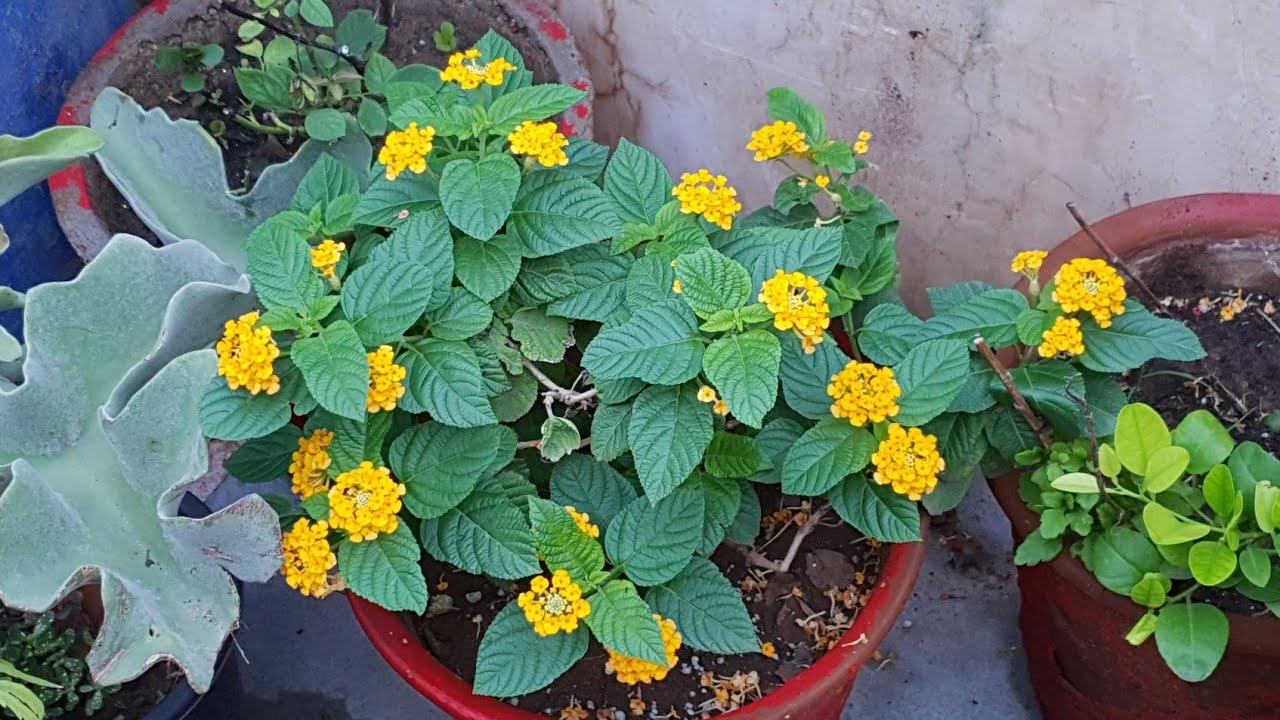 Image result for lantana plant