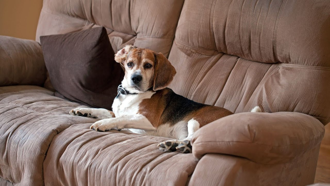 How To Keep Your Puppy Off Furniture | Puppy Care   YouTube