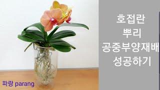 11.호접란 뿌리공중부양재배 성공하기, 수경재배와 차이…
