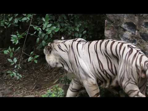 White Tiger in Tamilnadu | Search of Food