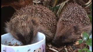 Wild hedgehogs in the garden, one evening in the late spring