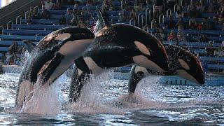 Killer Whales Up Close (Full Show) at SeaWorld San Antonio on 8/26/18