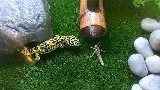 Леопардовый геккон (Эублефар) ест саранчу / Leopard gecko vs Locusta migratoria
