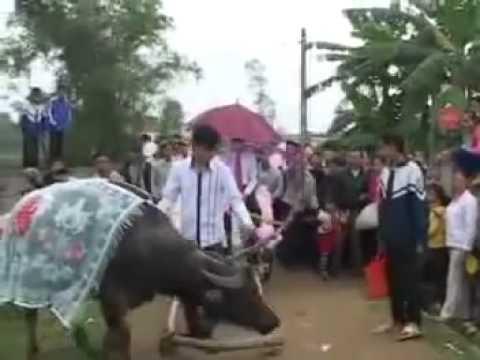 Đám cưới siêu vip rước dâu bằng xe trâu ,xe bò tại nghệ an Nội thất MoZaNo.vN