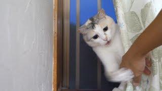 カーテンを開けるとバシバシツッコミを入れて来るわが家の猫ネコ吉です...