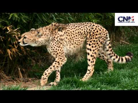 SUPER SPEED! - Cheetah Breaks 100 Meter Sprint World Record with 5.95 Second Run! - Reaction
