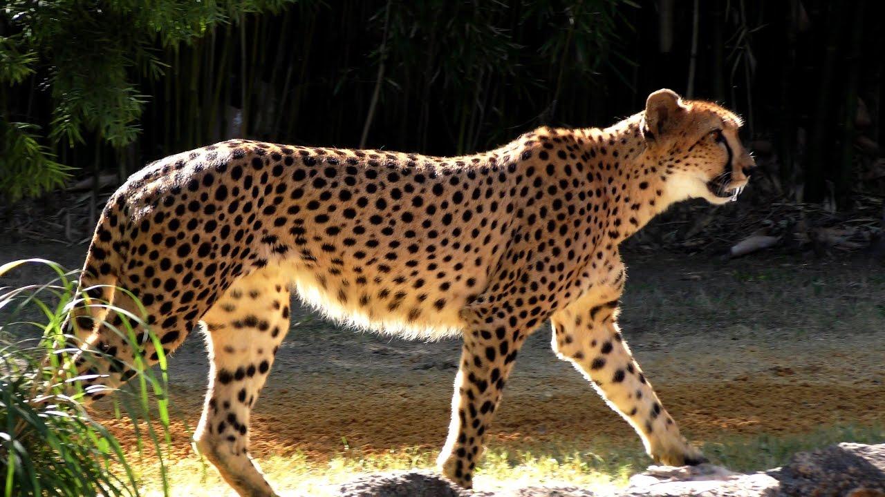 Spotted Cheetah Walking Uhd 4k Fyv Youtube