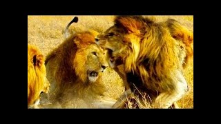 CBOY & THE KILLERS The Ganglands Lion Documentary National Geographic
