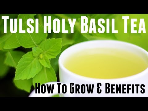 Holy Basil Tulsi Tea - How to Grow & Life Changing Health Benefits