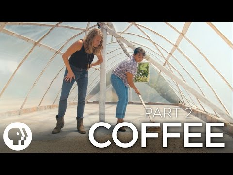 Part 2: Harvesting, Exporting and the Economics of Coffee | The Story of Coffee | Original Fare