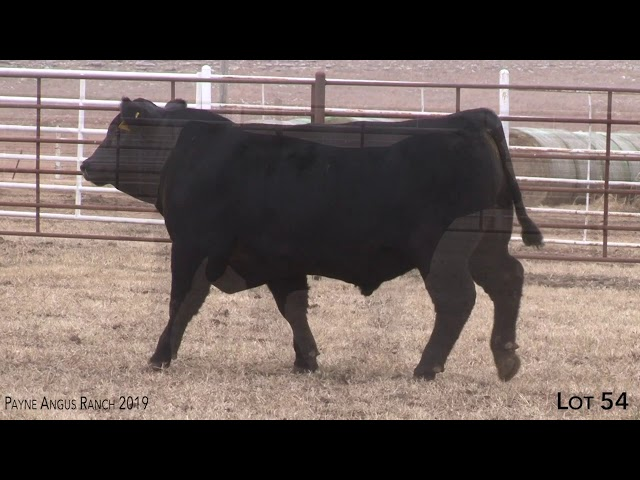 Payne Angus Ranch Lot 54