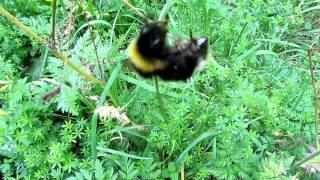 Bärtige Kuckuckshummel (Bombus barbutellus) ?