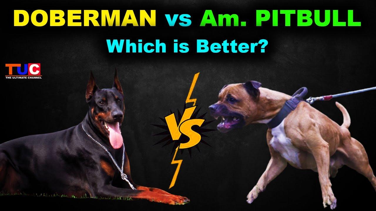 Doberman VS American Pitbull : Which is Best? : Dog Vs Dog : TUC