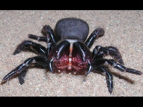 MASSIVE Sydney Funnel Web Spider VS Cockroach