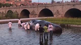 ¿que haces tu aqui? - un cachalote varado en Madrid