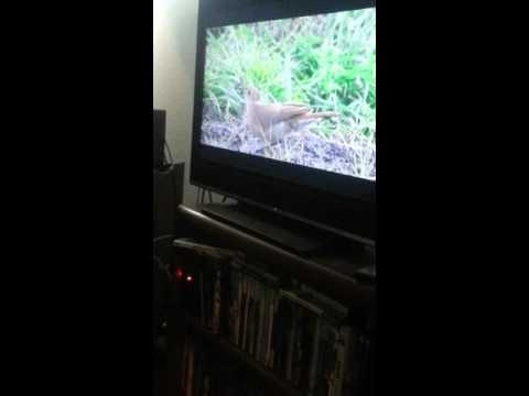Osaka the Cat Watches TV