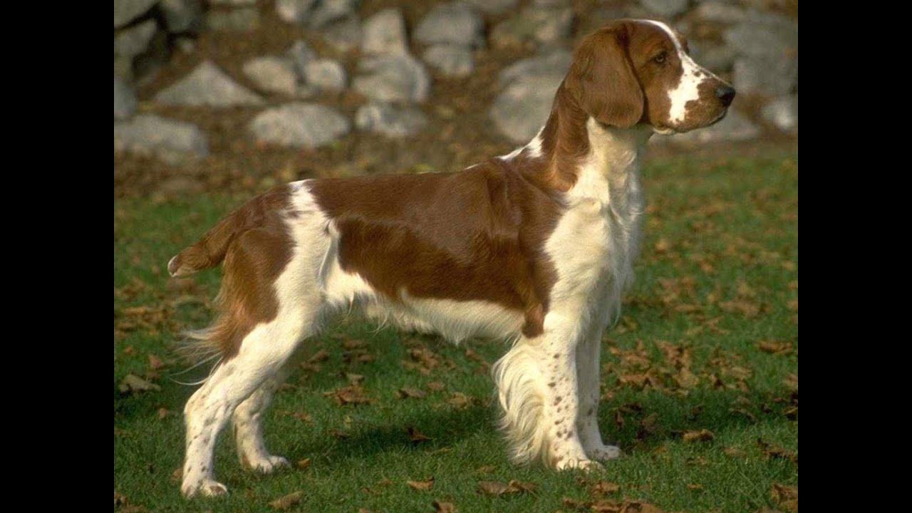 Английский спрингер спаниель. Породы собак
