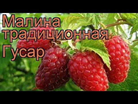 Малина традиционная Гусар (rubus gusar) 🌿 малина Гусар обзор: как сажать саженцы малины Гусар | традиционная | малина | обзор | гусар | rubus | gusar | гу