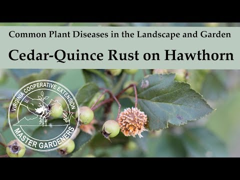 Cedar Quince Rust On Hawthorn - Common Plant Diseases In The Landscape And Garden