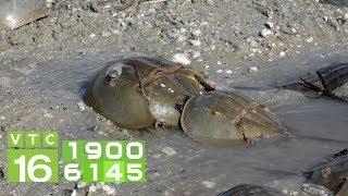 Mất mạng vì ăn nhầm con so biển | VTC16