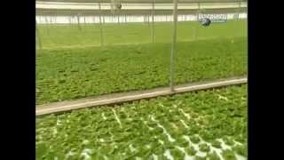 Гидропонный салат методом водной культуры