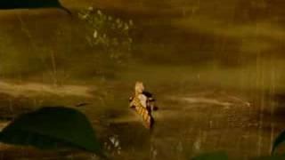 Babykrokodil in de amazone
