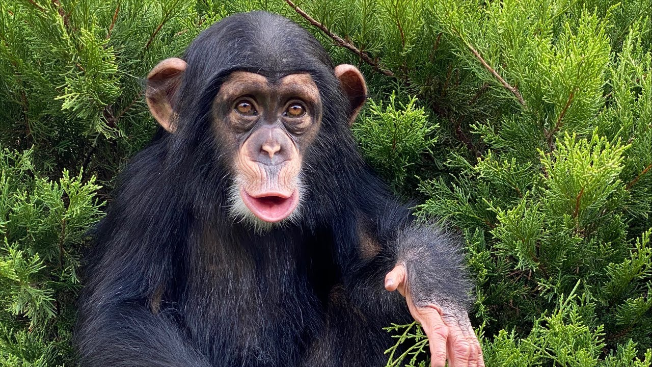 Baby Chimp has Dinner Live!